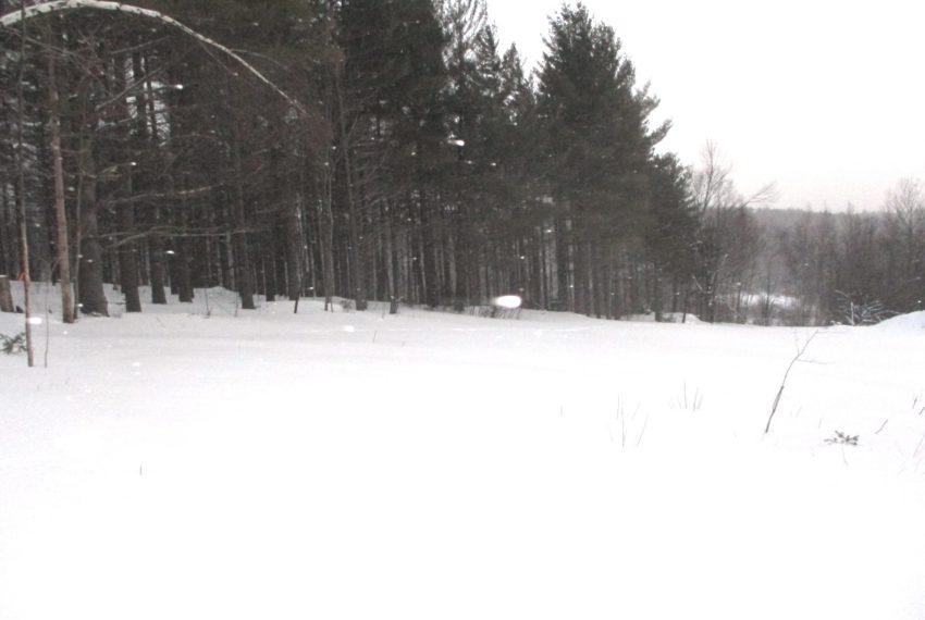 Pine grove in snow storm
