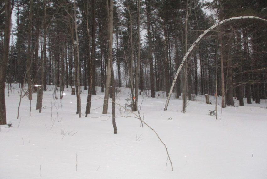 grove of Pine trees